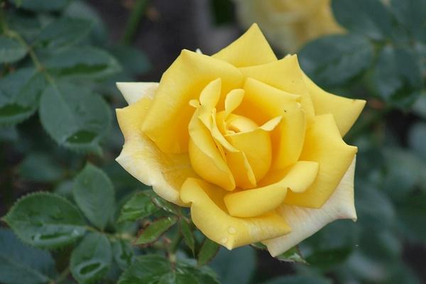 die sch nsten rosen yellow romantica aufnahmeort ostdeutscher rosengarten in forst lausitz. Black Bedroom Furniture Sets. Home Design Ideas