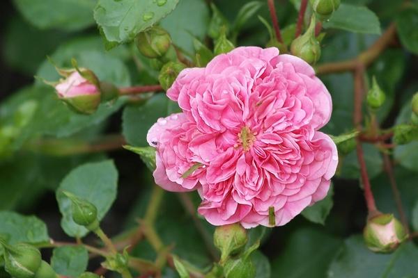 die sch nsten rosen pink swany aufnahmeort ostdeutscher rosengarten in forst lausitz. Black Bedroom Furniture Sets. Home Design Ideas
