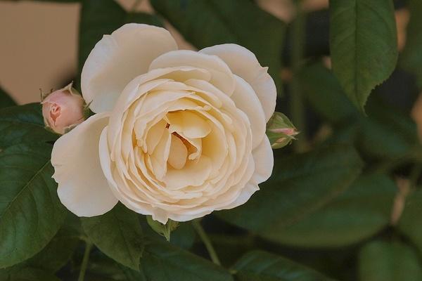 die sch nsten rosen uetersener klosterrose aufnahmeort ostdeutscher rosengarten in forst. Black Bedroom Furniture Sets. Home Design Ideas