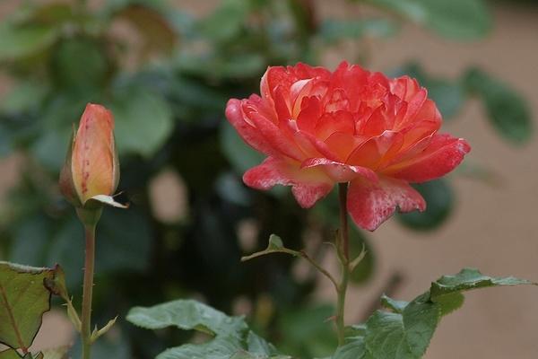 Die Sch Nsten Rosen Die Sch Nsten Blumen Der Welt Bild