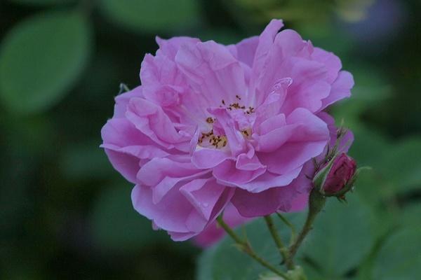 die sch nsten rosen trigintipetala rose von kazanlik aufnahmeort ostdeutscher. Black Bedroom Furniture Sets. Home Design Ideas