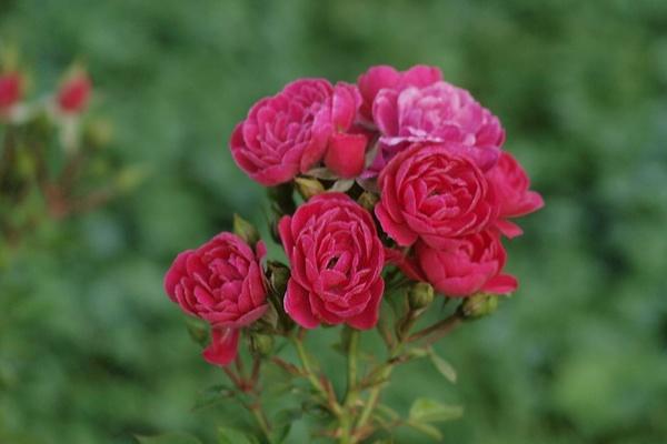 die sch nsten rosen hobby aufnahmeort ostdeutscher rosengarten in forst lausitz. Black Bedroom Furniture Sets. Home Design Ideas