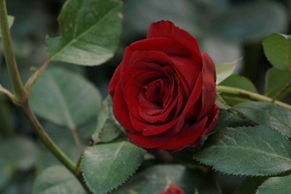 die sch nsten rosen red brokat aufnahmeort ostdeutscher rosengarten in forst lausitz. Black Bedroom Furniture Sets. Home Design Ideas