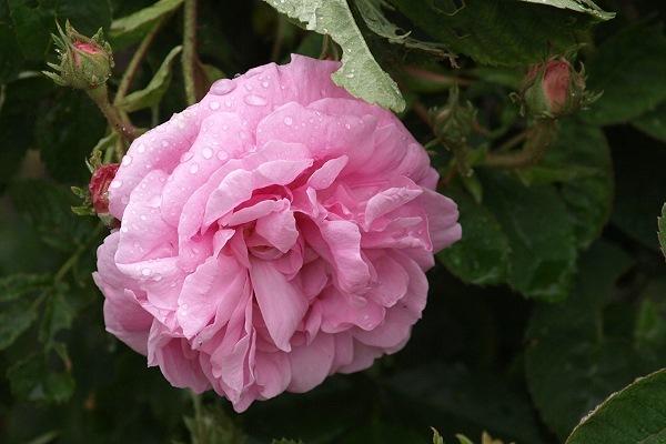 die sch nsten rosen k nigin von d nemark rosa alba aufnahmeort ostdeutscher rosengarten. Black Bedroom Furniture Sets. Home Design Ideas